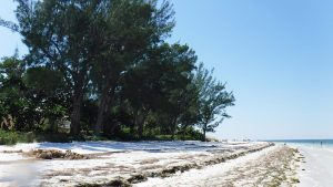 Trees on the beach at Bean Point on Anna Maria Island Florida.
