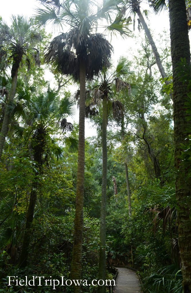 Tall palms sour high above at Ocala National Forest Alexander Springs Timucuan Indian Nature Trail