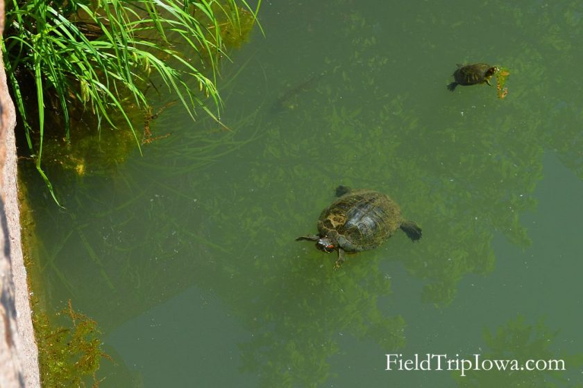 Two turtles floating in pond at Elephant Rocks State Park