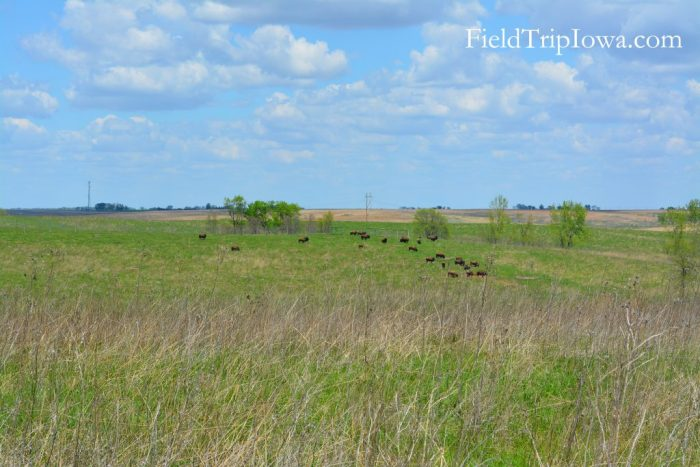 Bison grazing on grass at a distance at Neal Smith National Wildlife Refuge