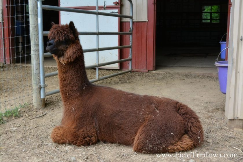 Brown Alpaca at Hidden Paradise Alpacas Farm in IL