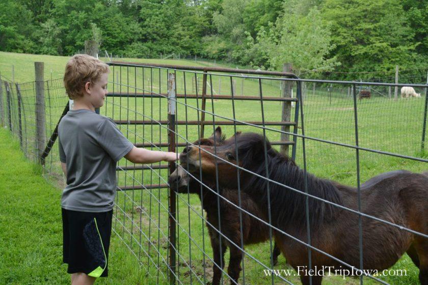 Boy pets miniature horses at Hidden Paradise Alpacas Farm in IL