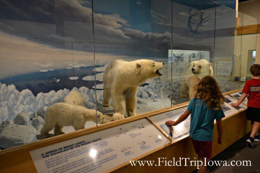 Children walk in Hall of Mamals past polar bears in Putnam Museum in Quad Cities.