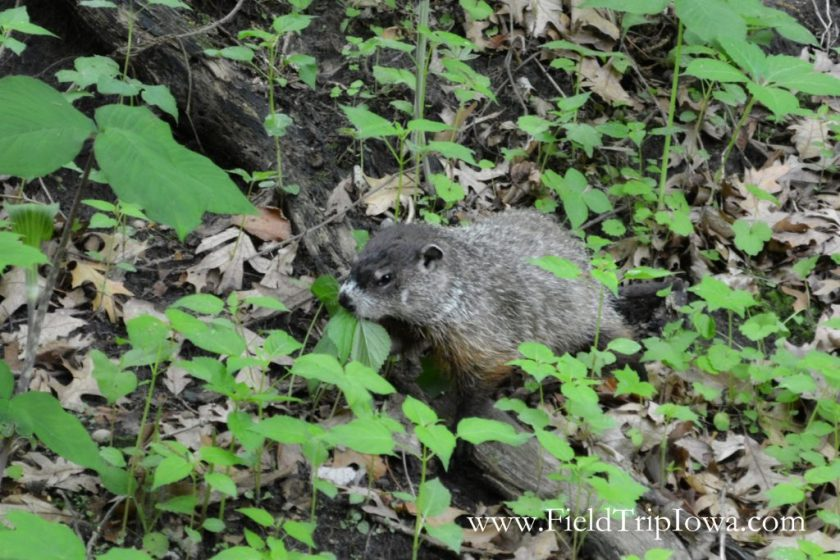 Groundhog eating leaves in in Starved Rock State Park, IL