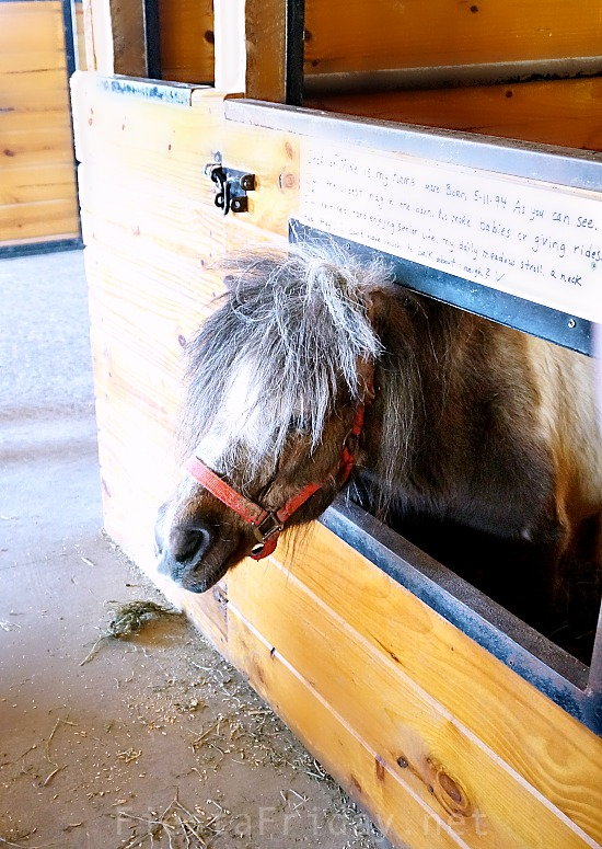 miniature horse | fiestafriday.net