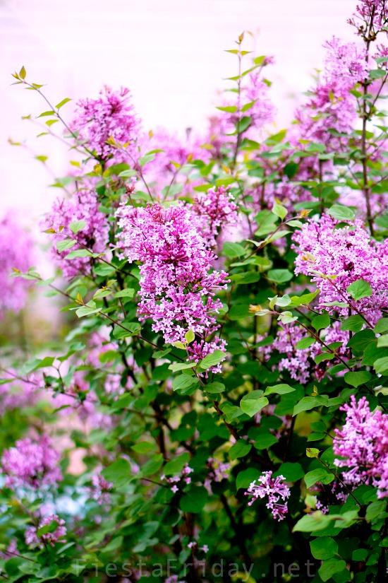 reblooming-lilac-josee