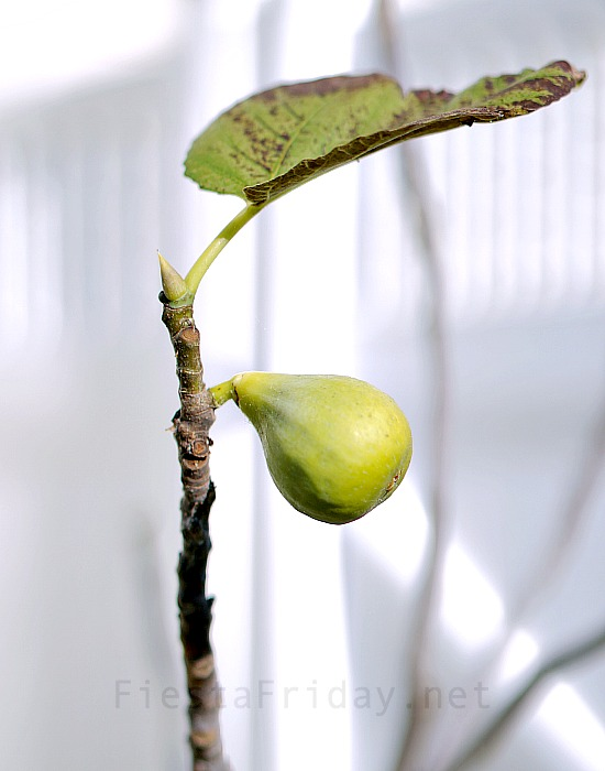 ripening-fig