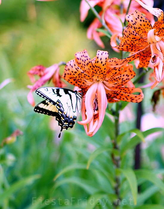 tiger-swallotail-butterfly-on-tiger-lily