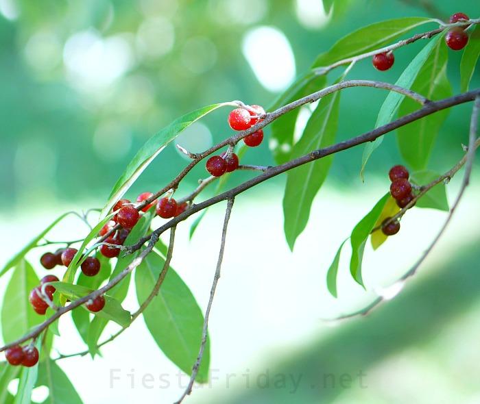 Autumn Olive | FiestaFriday.net