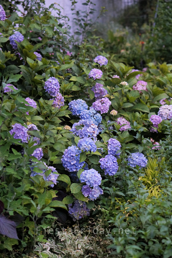 Nikko Blue Hydrangea|FiestaFriday.net