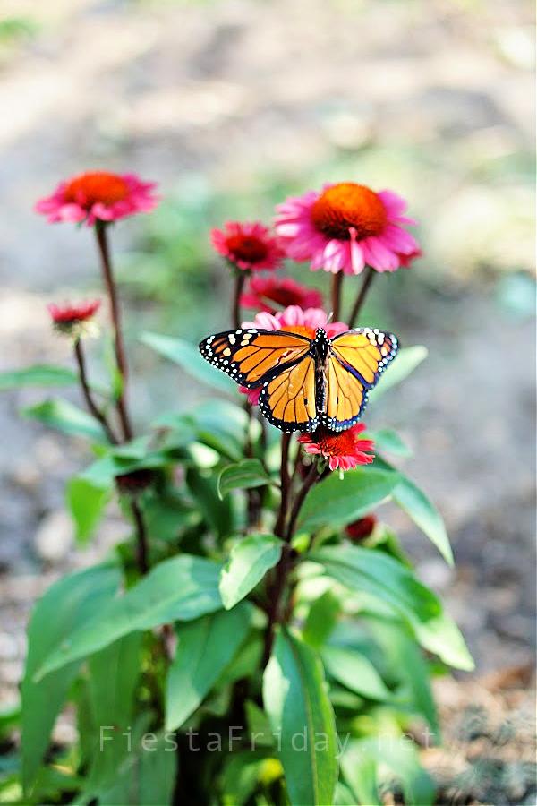 Monarch Butterfly on Echinacea | FiestaFriday.net