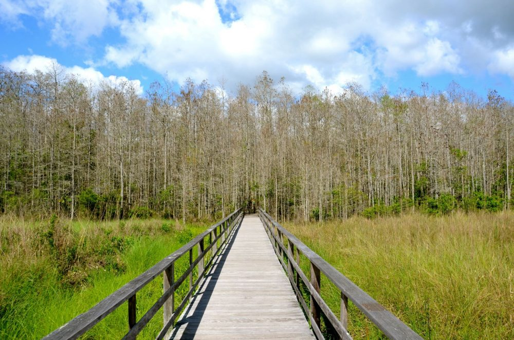Boardwalk going into Corkscrew Swamp Sanctuary in Naples Florida.