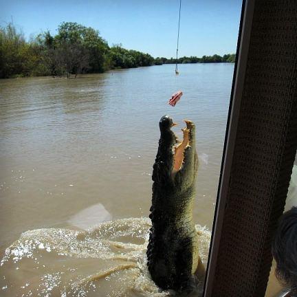 Alligator feeding with Our Globetrotters in Darwin Australia.