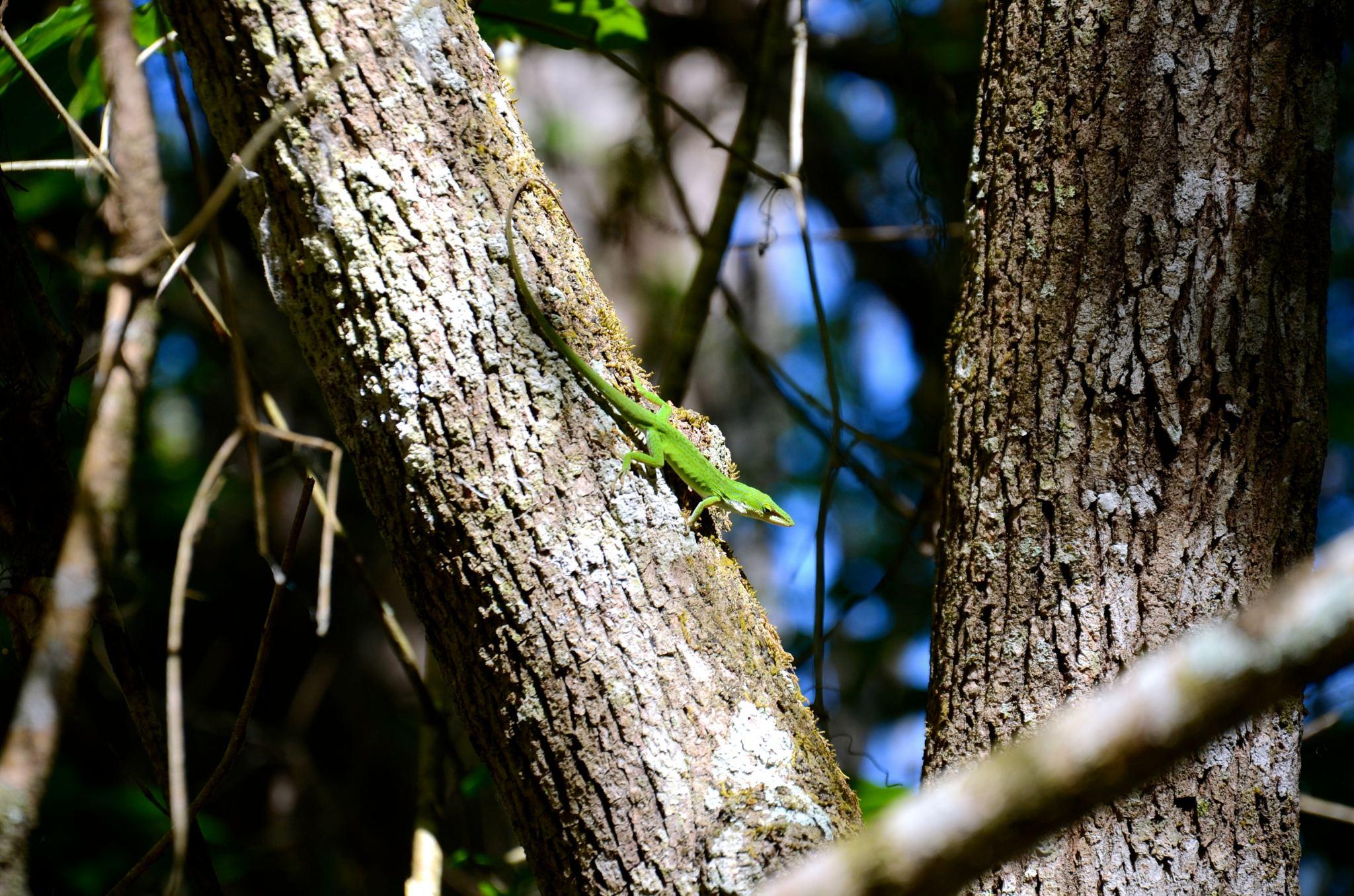 Lizard at Corkscrew Swamp Sanctuary in Naples Florida.