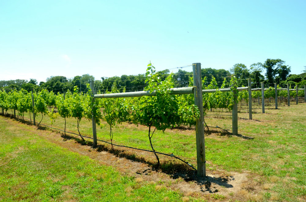 Wandering around Willow Creek wine vineyards in Cape May, New Jersey.