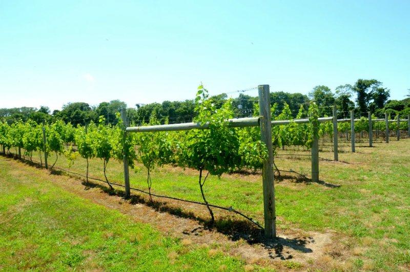Wandering around Willow Creek wine vineyards in Cape May, New Jersey.