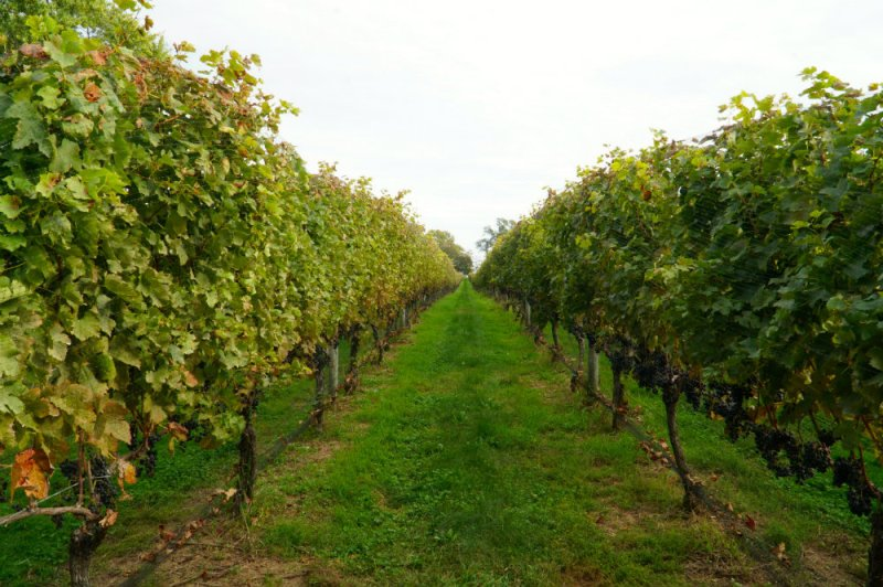 Wine vineyards in the North Fork, Long Island is part of our guide to why the North Fork makes for the perfect weekend away.