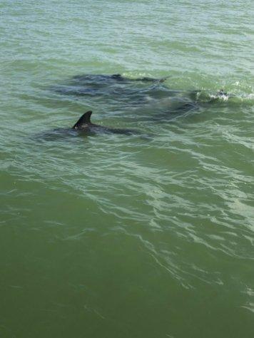 Dolphin watching on the Hemingway Shuttle to Keewaydin Island.
