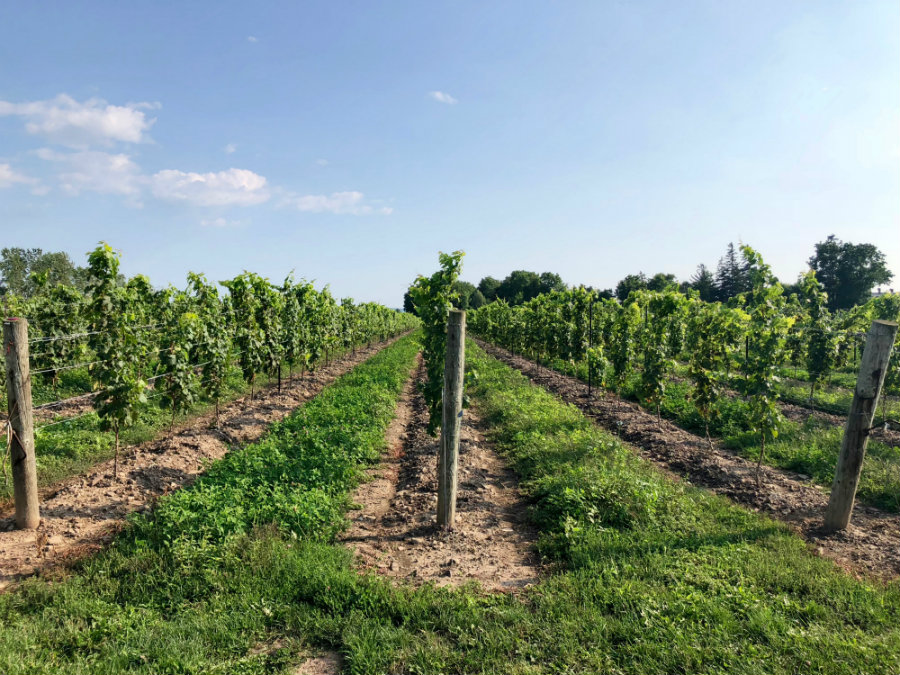 The wine vineyard at Pellar Estate in Niagara-on-the-Lake