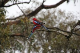 Two Crimson Rosella's share a branch
