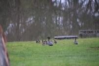 Ducks walking back toward the dam