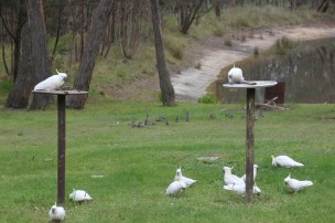 Sulphur Crested Cockatoos grazing with the Australian Wood Duck family in the background
