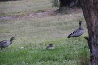 Australian Wood Ducks