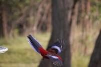 Crimson Rosella in flight