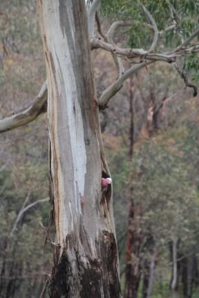 Galah exploring new tree