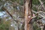 Gallah in tree hollow