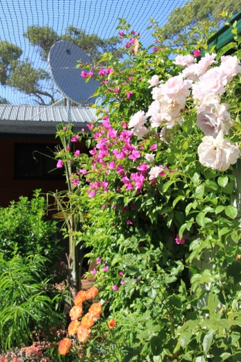 Roses and Bougainvillea