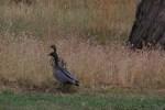 Adult-Australian-Wood-Ducks-Guarding-seven-hidden-ducklings