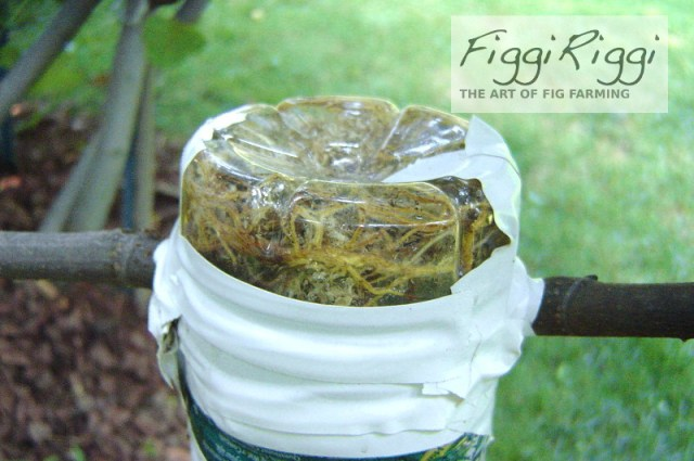 Air layering close shot showing roots inside upside down water bottle
