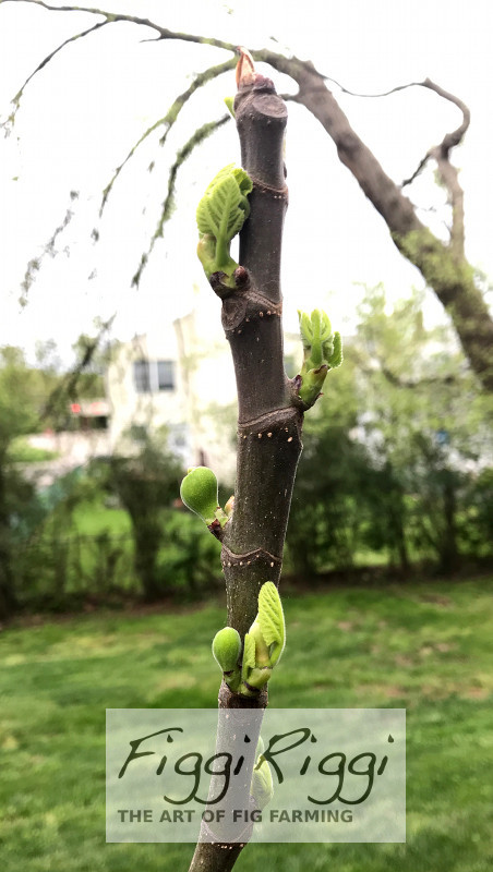 Fig tree leafing out as Spring returns avoids killing freeze