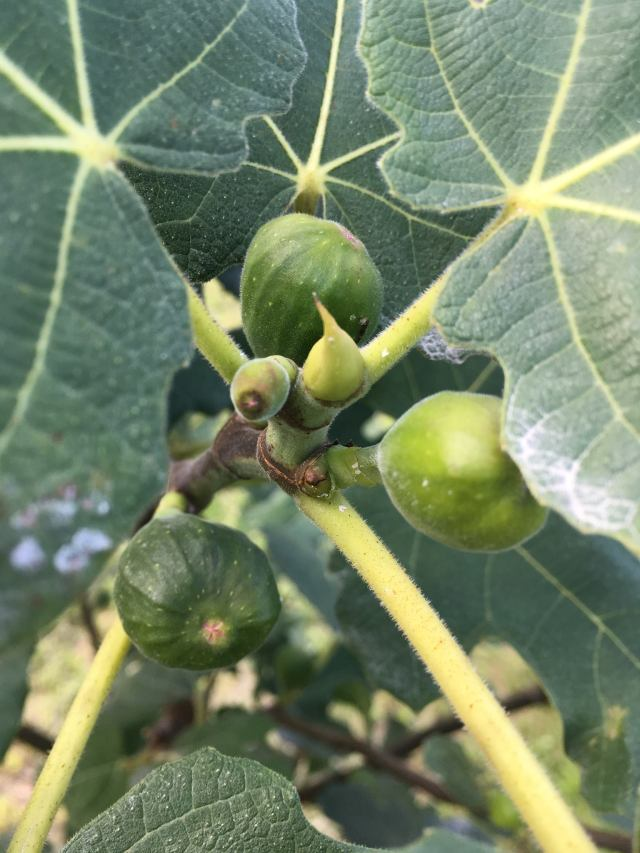 healthy black mission figs