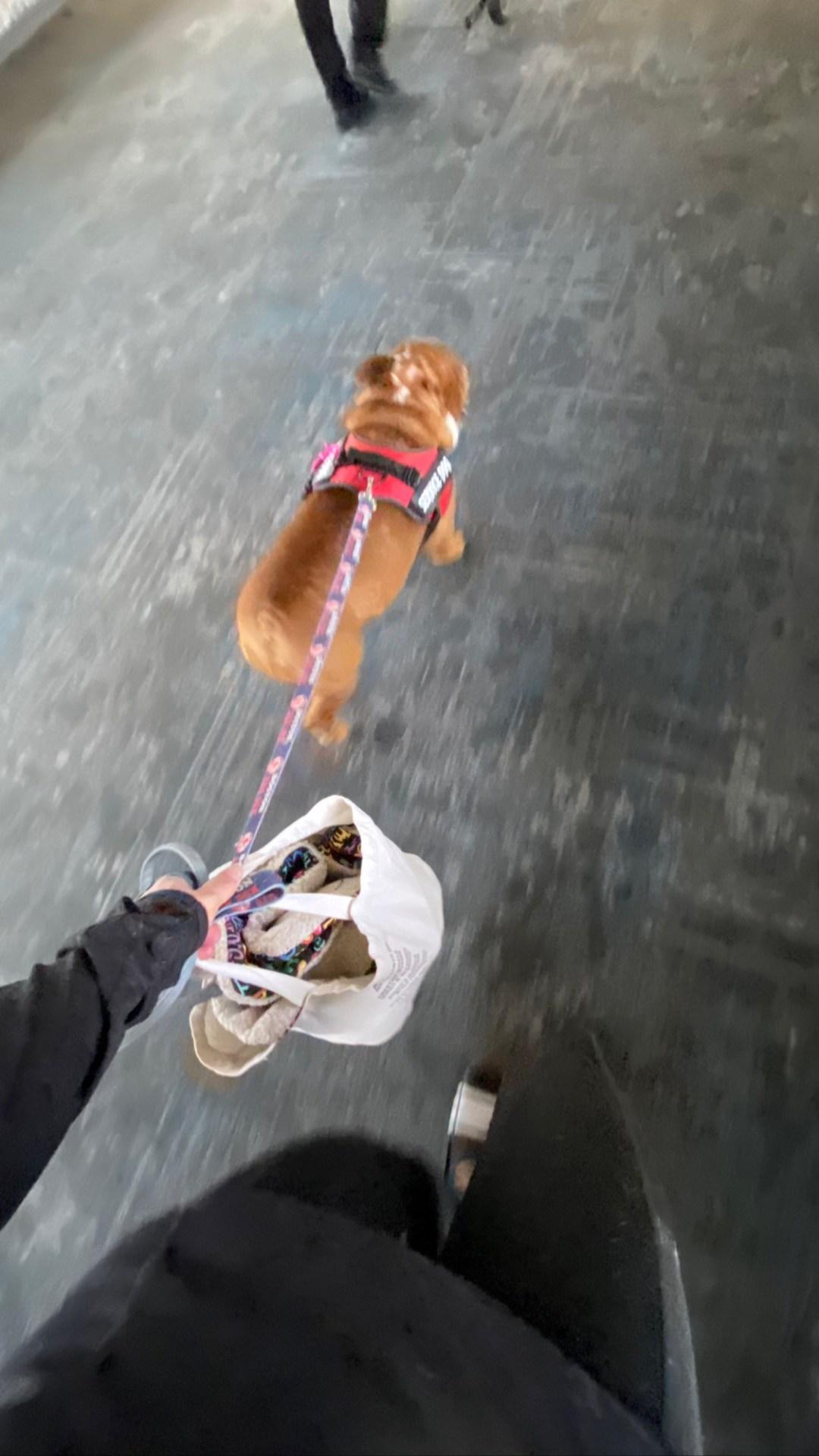 Flight Pet Nanny transporting an English Bulldog to Phoenix