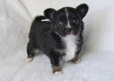 Kiki - 5 weeks old - Weight 1 lb 4 1/4 ozs