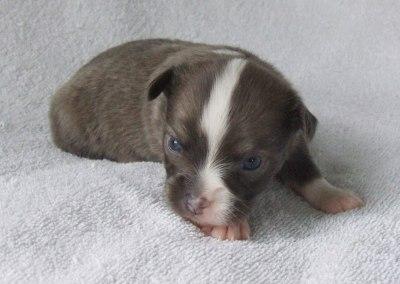 Bleu - 3 Weeks Old - Weight 1 lb 1 oz