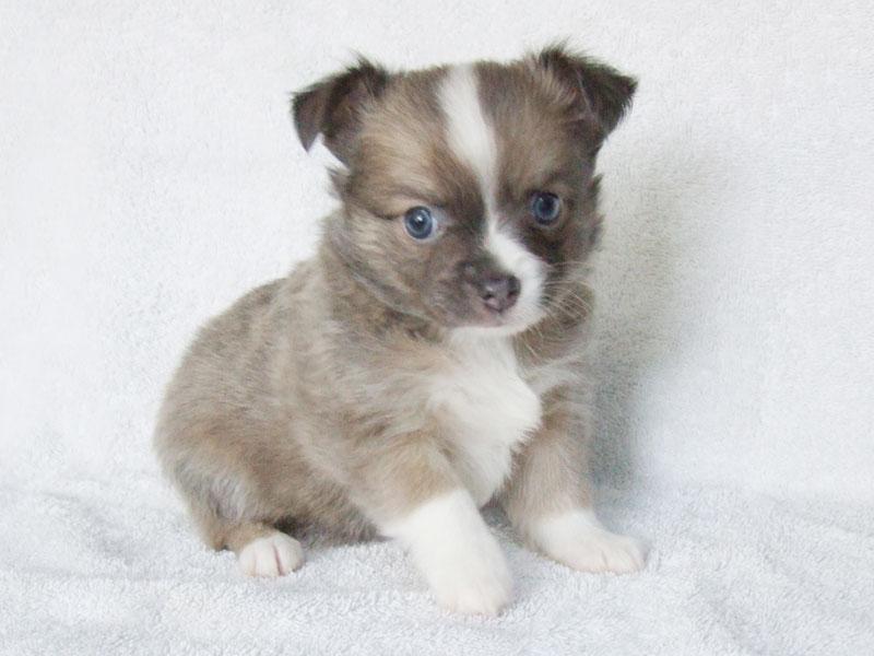 Bleu - 6 Weeks Old - Weight 1 lb 15 1/2 ozs