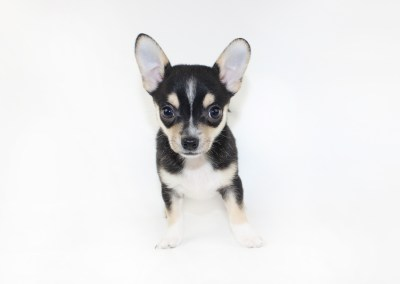 Rico - 8 Weeks Old - Weight 2 lb 9 ozs
