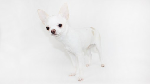 Figgy's Chihuahuas - AKC Show Breeder/Handler in Central Florida