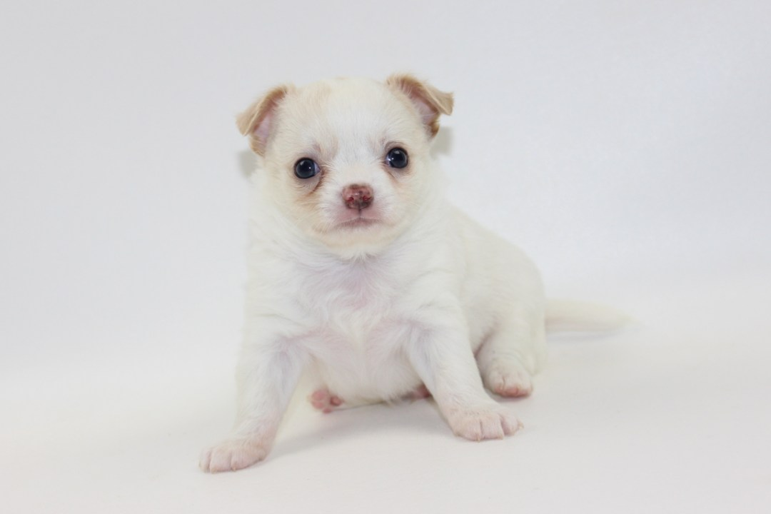 Thunder - 5 Weeks Old - Weight 1 lb 12 ozs