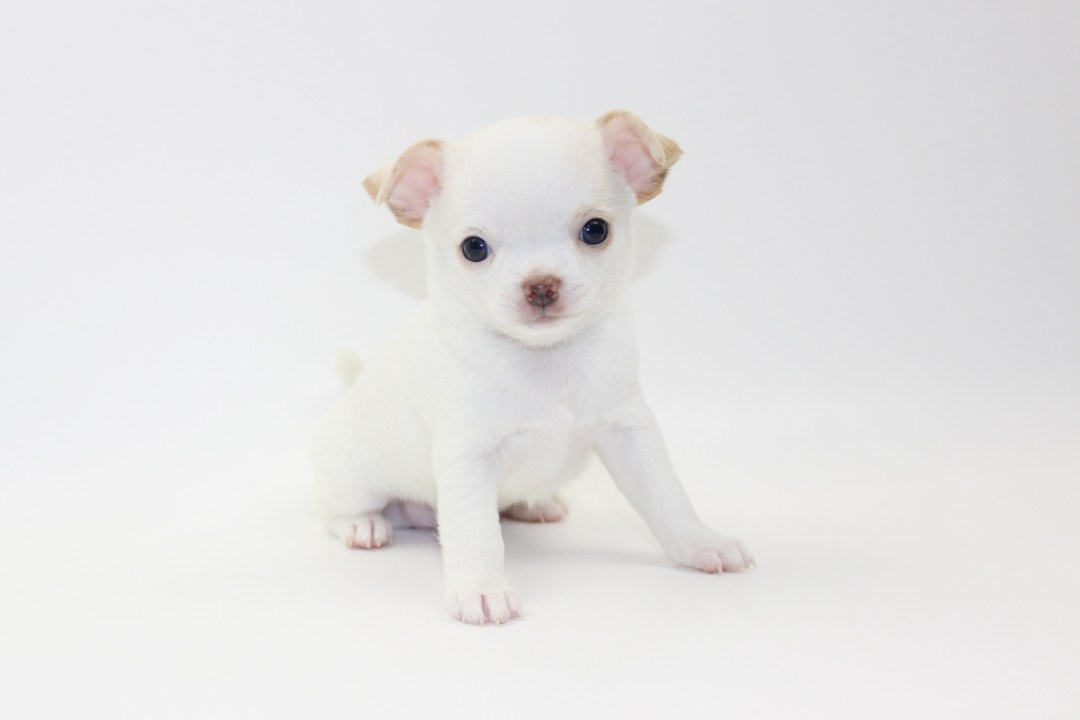 Teenie - 6 Weeks Old - Weight 1 lb 9 ozs