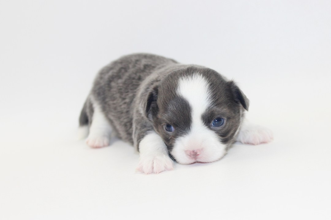 Smurf - 3 Weeks Old- Weight 1lb 4.5 ozs