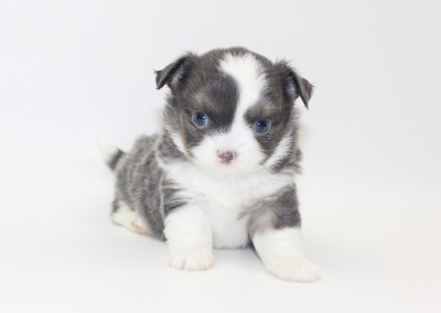 Smurf - 5 Weeks Old- Weight 1lb 8 ozs