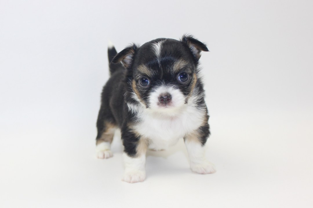Bubbles - 5 Week Old- Weight 1 lb 10.2 ozs