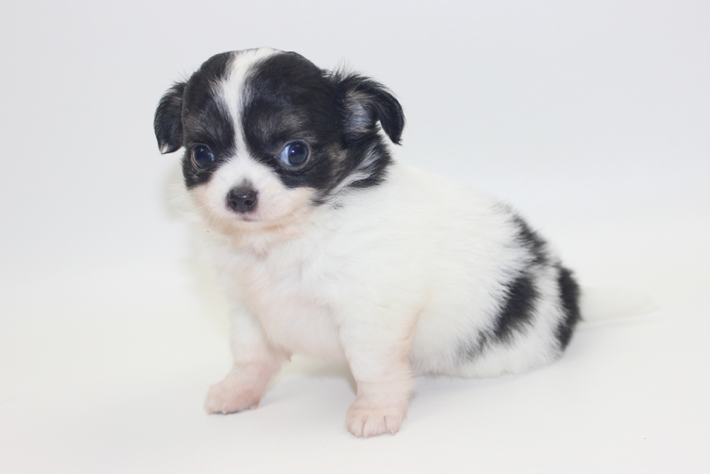 Bella - 6 Weeks - Weight 1 lb 4.7 ozs