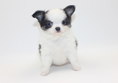 Vamp - 7 Weeks Old - Weight 1 lb 9.9 ozs