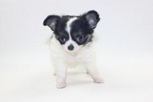 Bella -8 Weeks - Weight 1 lb 8.2 ozs