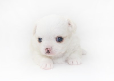 Cottontail Martini - 4 Week Old Chihuahua Puppy - 1 lb 10.5 ozs
